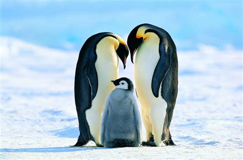Emperor Penguin Facts