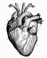 Royalty Free Anatomical Heart Clip Art, Vector Images ...