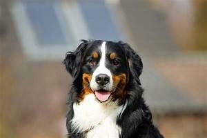 Berner Sennenhund Gewicht : berner sennenhund charakter und wesen ~ Markanthonyermac.com Haus und Dekorationen