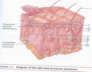 Skin And Accessory Structures