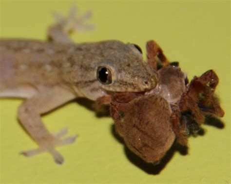 house gecko backyard beauties the invasive asian house gecko before it s gone