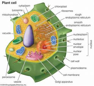 Biology Pictures  Plant Cell Diagram