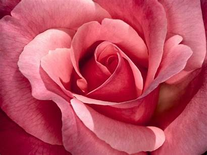 Rose Pink Wallpapers Backgrounds Desktop