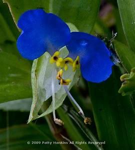 Asiatic Dayflower – commelina communis :: Beautiful Flower ...