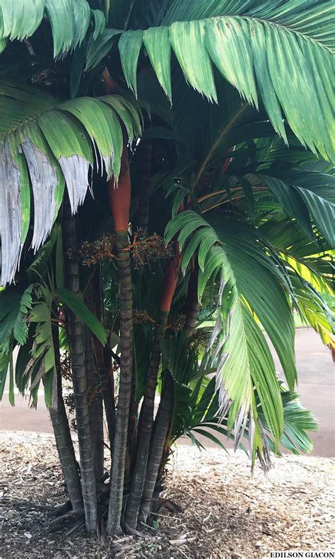 Viveiro Ciprest - Plantas Nativas e Exóticas: Palmeira ...