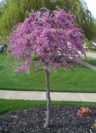japanese redbud tree photos lavender twist weeping redbud tree patented must be staked trained to grow to about 6 to 7