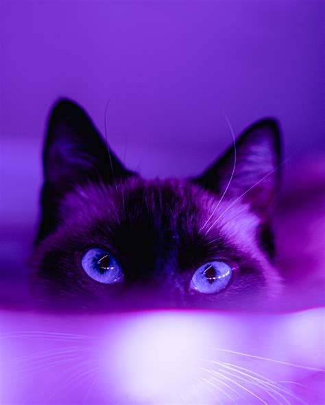black cat in pink background photo free purple image on