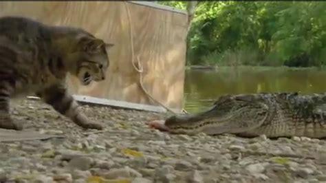 kentucky wildcats tv cat  gator florida game intro