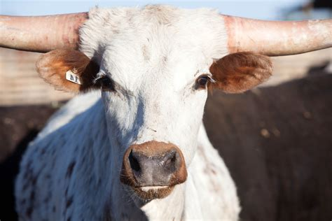 picture long horn cattle  head portrait