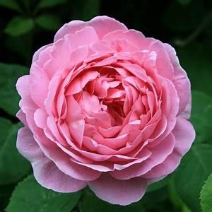 Buy Rose Constance Spry  Climbing  Shrub  Rosa Constance
