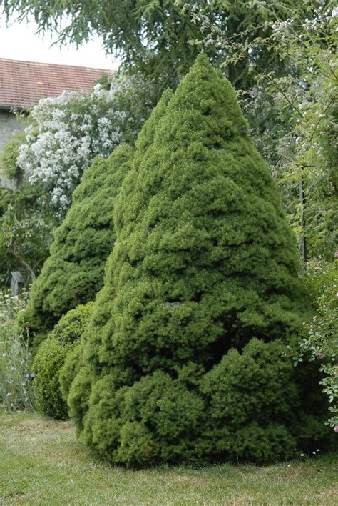 alberta spruce picea glauca conica dwarf alberta spruce