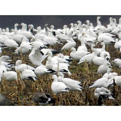 Nature in a Nutshell: Snow Geese on the wing