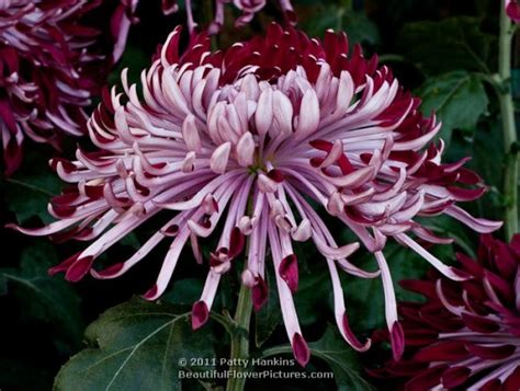 shades  pink purple chrysanthemums beautiful flower