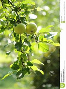 Green Apples On An Apple-tree Branch Royalty Free Stock ...