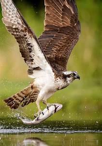 Captured by Félix Morlán González on 500px | Osprey bird ...