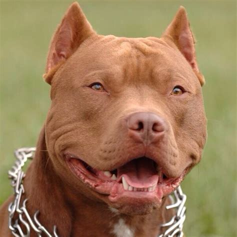 images pits pretty pitbulls pitbull pics twitter