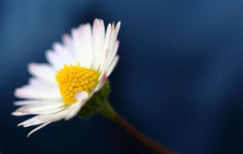 daisy hd wallpapers free download