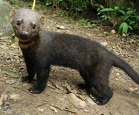 tayra clever eats  animal otters  ferret
