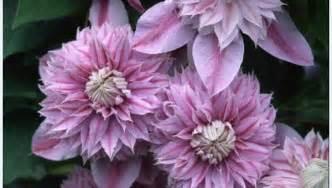 clematis josephine clematis plants  raymond evison
