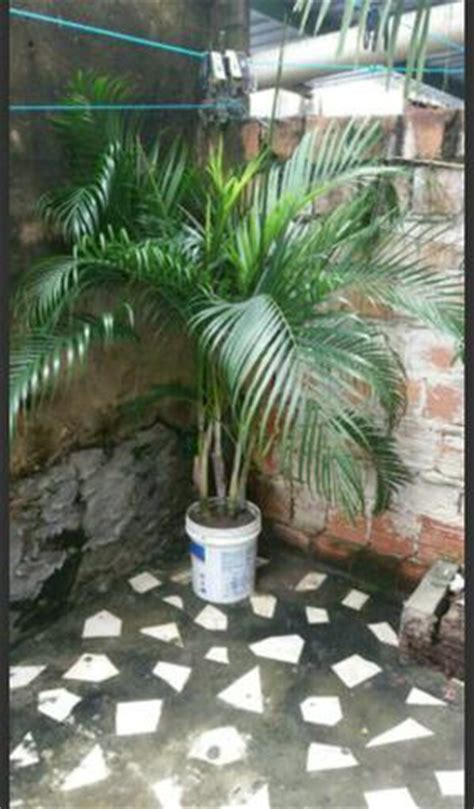 palmeira areca de locuba 🥇 【 OFERTAS 】 | Vazlon Brasil