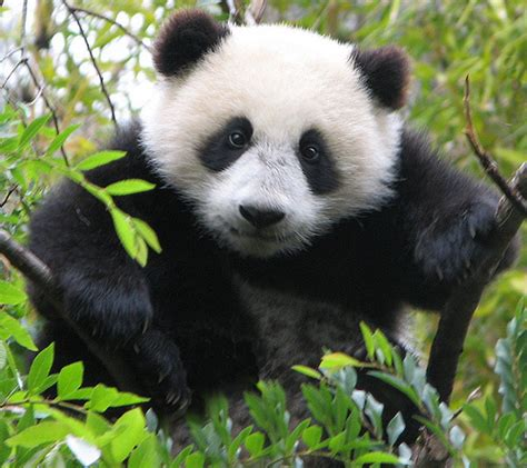 Pandas Images Cute Pandas!!!! Wallpaper And Background
