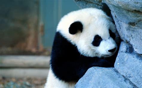 Baby Panda 3d Wallpaper