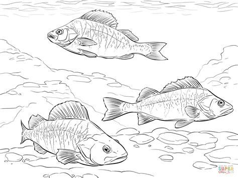 walleye fish coloring page sketch coloring page