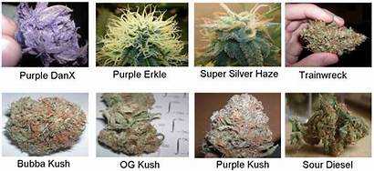 Marijuana Strains Weed Medical Sample Different Expensive