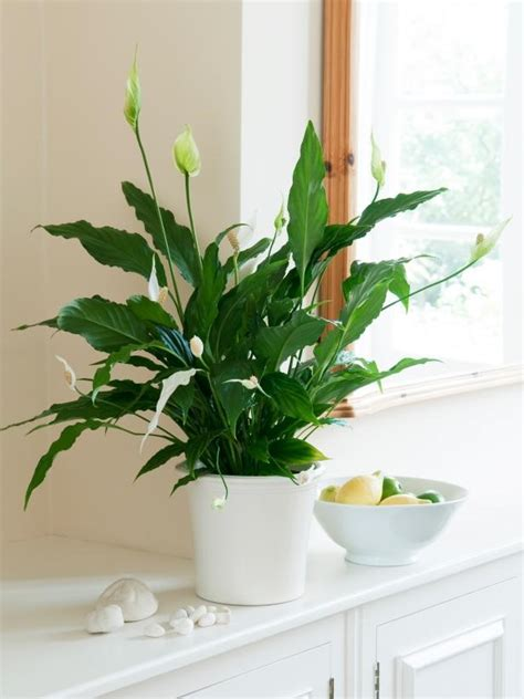 plants peace kitchen indoor lily plant pot sunlight need grow light lilies decorate air windowsill potted dont garden water indoors