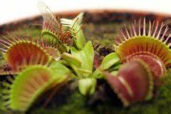 Fleischfressende Pflanze Pflege : fleischfressende pflanzen so funktioniert die verdauung ~ A.2002-acura-tl-radio.info Haus und Dekorationen