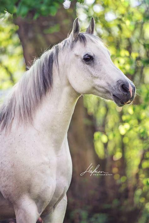 gray  white horses images  pinterest