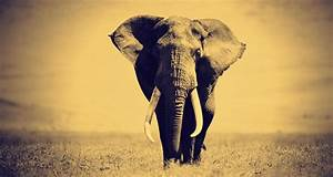 Elephant Pictures Black and White on Animal Picture Society