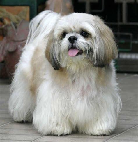 puppy shih tzu long haircut grooming  hair style ideas