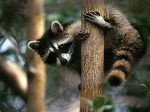 Raccoons | Fun Animals Wiki, Videos, Pictures, Stories