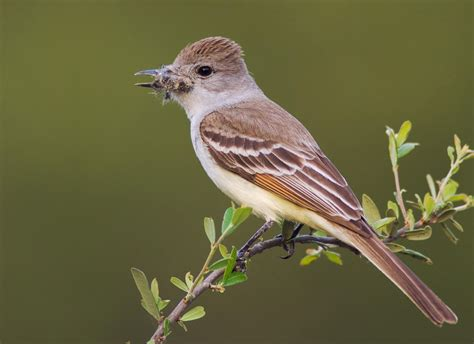 ash throated flycatcher audubon field guide
