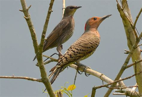 carol mattingly photography northern flicker and juvenile