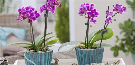 Come Curare Orchidea In Casa by Come Curare Orchidea In Casa Gallery Of In Terrestri