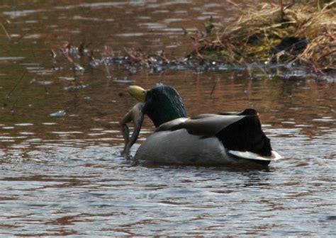 what do mallard ducks eat panoramio photo of mallard duck eat frog