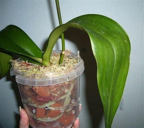 membuat tanaman hidroponik anggrek bibitbungacom