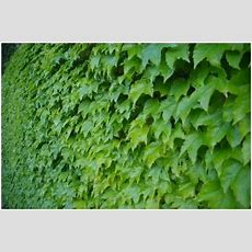 Vines Creepers Or Climbing Plants To Fill Walls In The