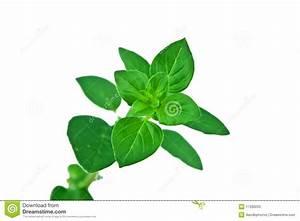 Fresh Sprig Of Oregano Leaves Isolated Over White Stock ...