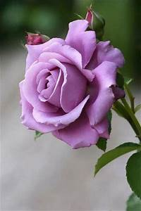 Purple rose... - Pixdaus