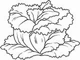 Coloring Vegetables Lettuce Pages sketch template