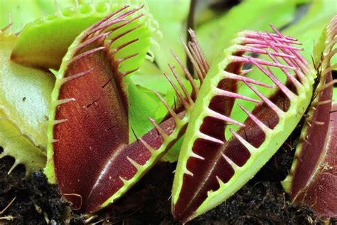 plant  de kijker de vleesetende plant huisje tuintje