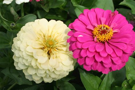 pics of zinnias michael s environmental science blog 5 different types of flowers lab