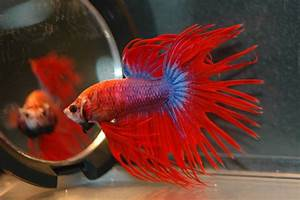 The gallery for --> Red Crowntail Betta