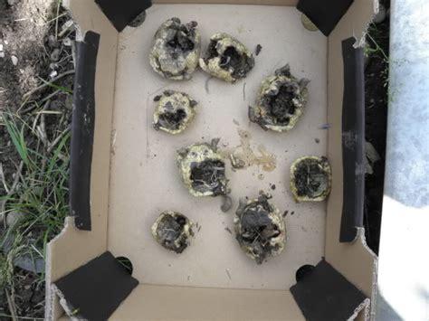 fressen marder ratten europ 228 ische landschildkr 246 ten warum sie nicht ins terrarium geh 246 ren