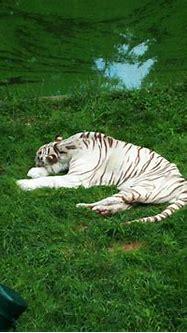 sleeping white tiger stock by YawningRat on deviantART