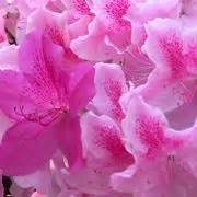 cura azalea in vaso azalee piante appartamento come curare le azalee