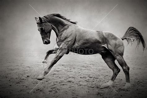 Equine Fine Art Photography Galloping Black Horse